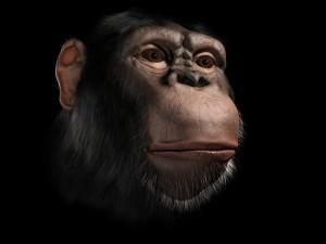 Chimpanzee_main
